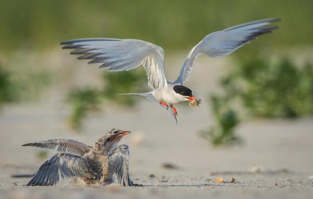 Nesting Platform Initiative Launched for Endangered Birds in Maryland Coastal Bays