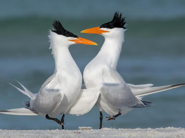 Saving Maryland's Iconic Beach Birds